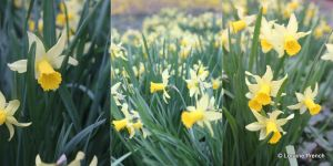 Daffodields.jpg
